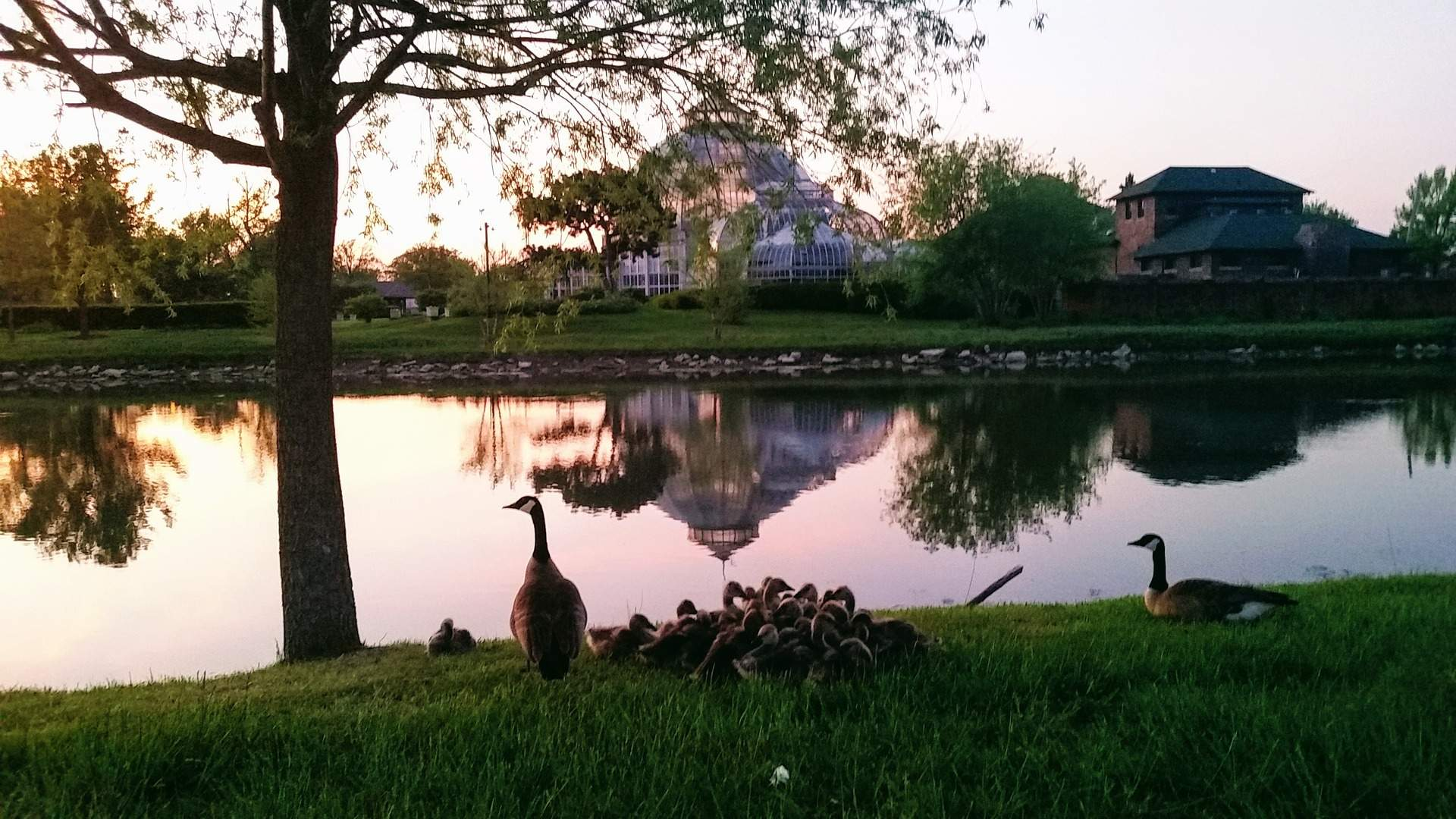 Geese outside the Anna Scripps Whitcomb Conservatory on Belle Isle at sunset